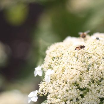 Do we need to say more? Bees all over the place! #biodiversity #hydrangeapaniculata #livingseries #whitehydrangea 📸 @noraly • • #biodiversity #biodiversite #beesofinstagram #bees #lovebees #honeybees #hydrangeaarborescens #hydrangea #hydreangeanursery #nature #support #naturelovers #flowersofinstagram #flower #whiteflower #gardeninterior #gardeninglife #livinginspiration #livingseries