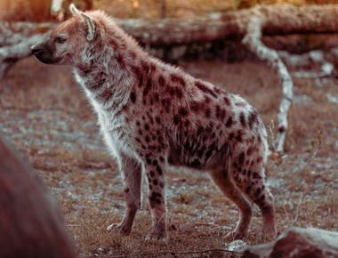 Are Hyenas Dogs? Can They Interbreed?