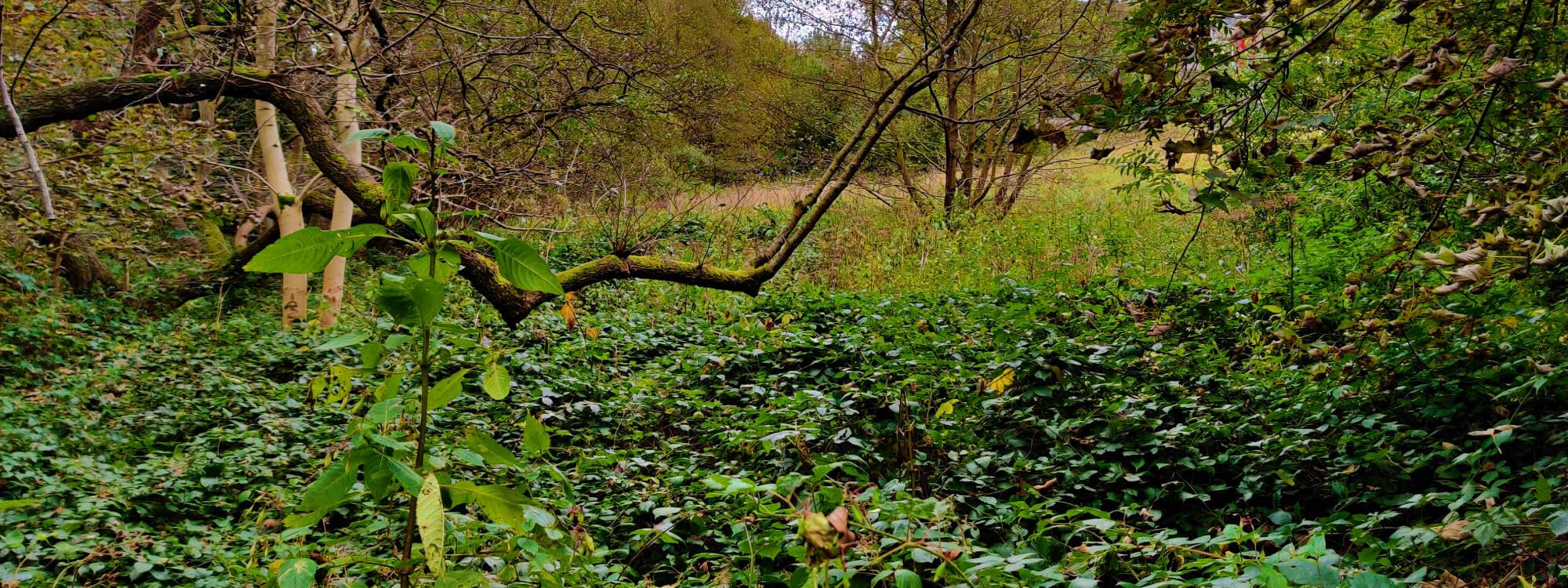 Looking over green undergrowth and between trees in Adel woods during Autumn