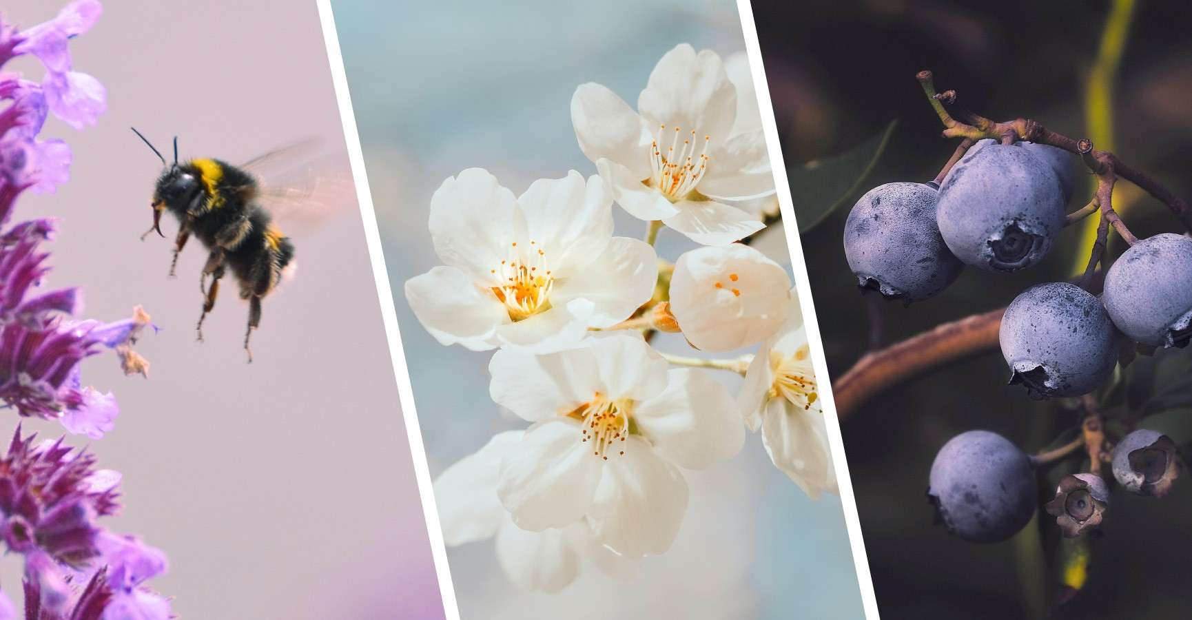 Images of a bumblebee, apple blossoms and organic blueberries