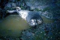 A Juvenile Grey Seal.