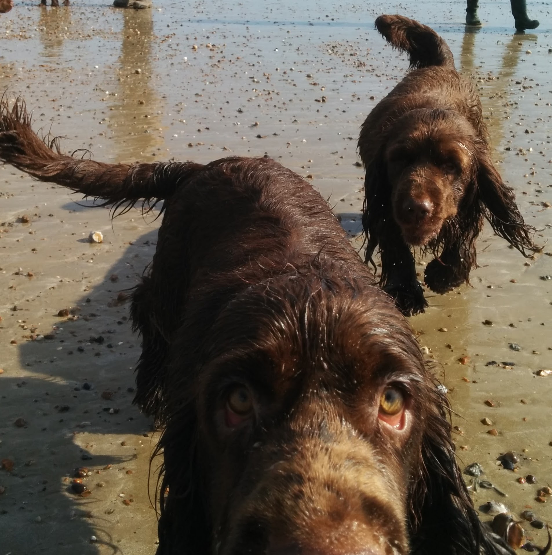 Close up of a Sussex Spaniel dog's snout with a second dog behind.