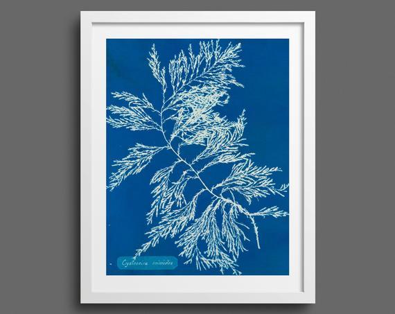 Algae Cyanotype by Anna Atkins