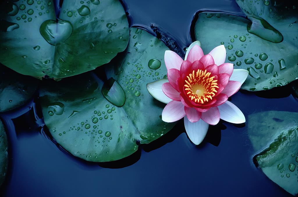 A otus flower