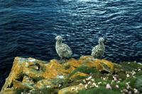 Two Great Black-backed Gull chicks on the cliffs