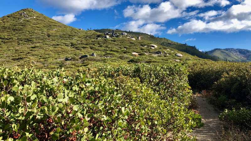 The trail enters a thicket of manzanita