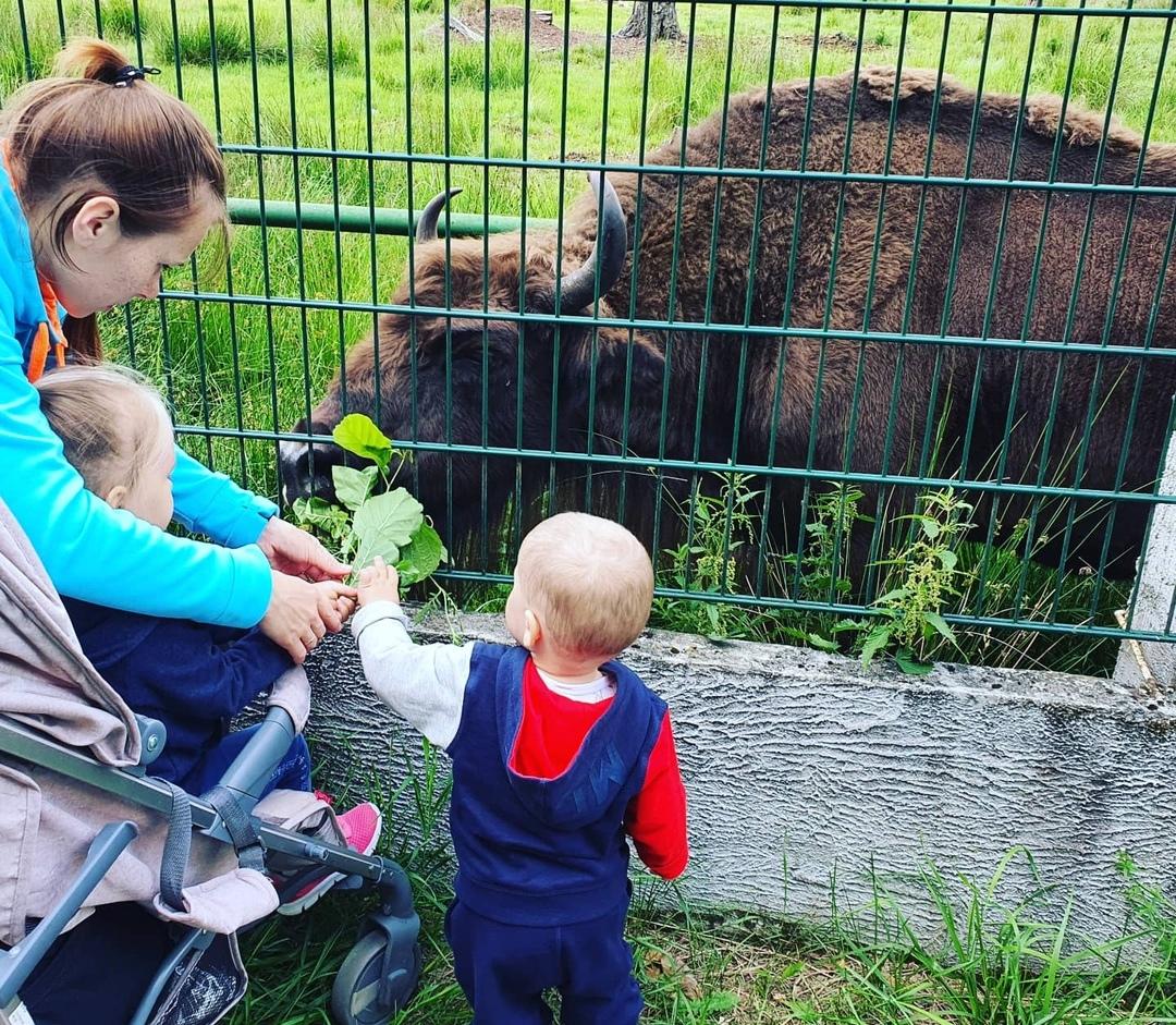 My kids feed the bison with oak branches. Belovezhskaya Pushcha. Summer 2020 Photo by A.Basak