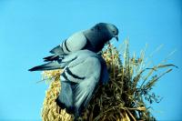 Rock Doves feed on oats