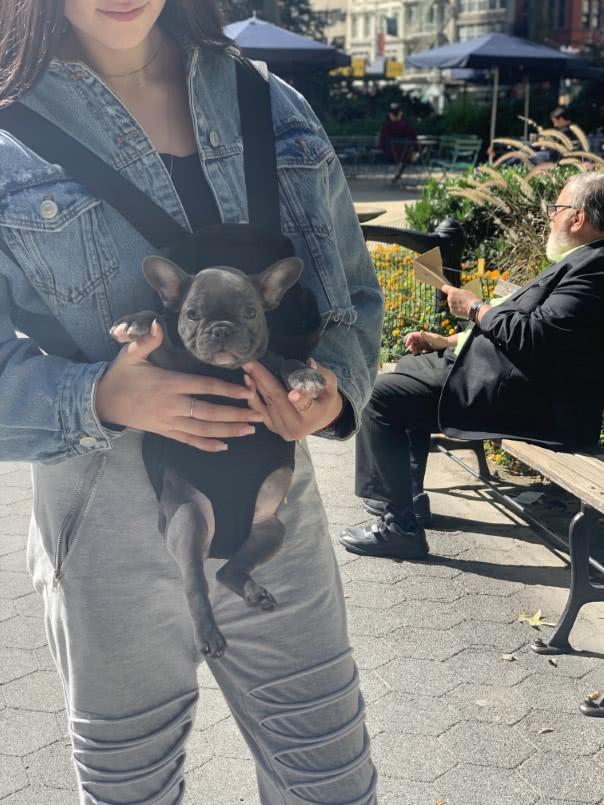 Blue french bulldog puppy preston