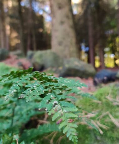 Otley Chevin Forest Park photo of a fern against blurry tree backdrop