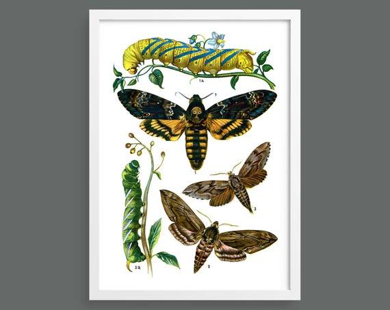 Butterflies and Moths – Plate 5