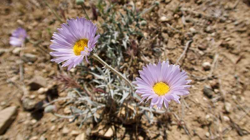 leafy fleabane wildflowers