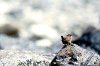 A Wren stands at the point of a rock