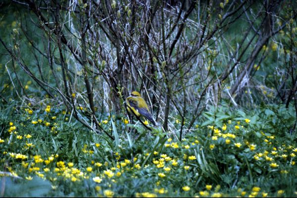 A Golden Oriole among the trees