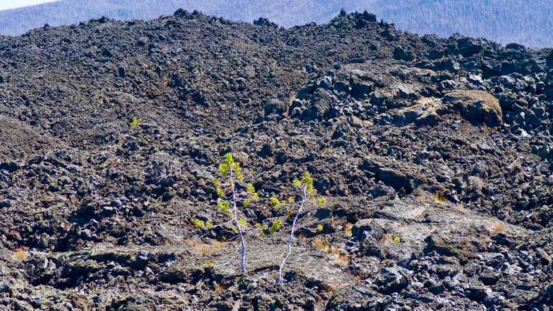 Two trees attempt to grow in the volcanic rock