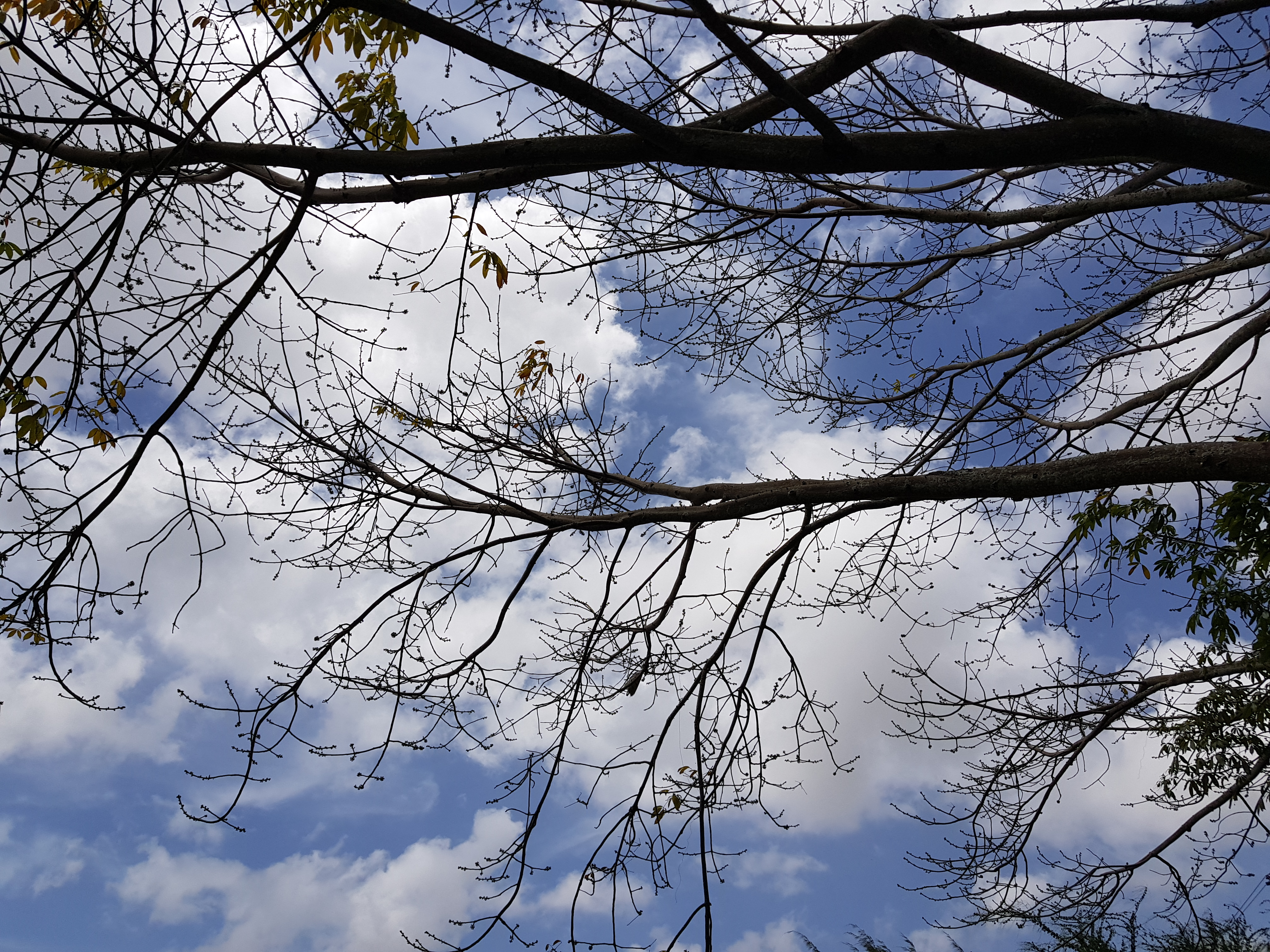 Barrenness – Fall of the Cotton Tree Leaves in March