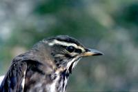 A Redwing in profile
