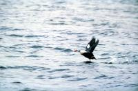 A King Eider takes flight