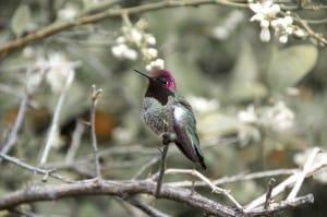 Kingpin hummingbird