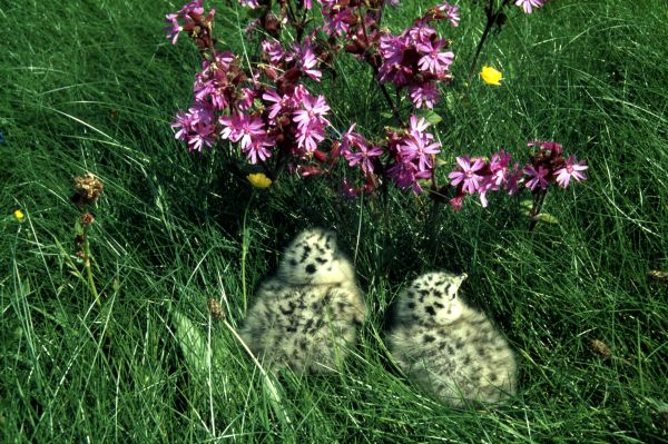 Red Campion sheltering two gull chicks