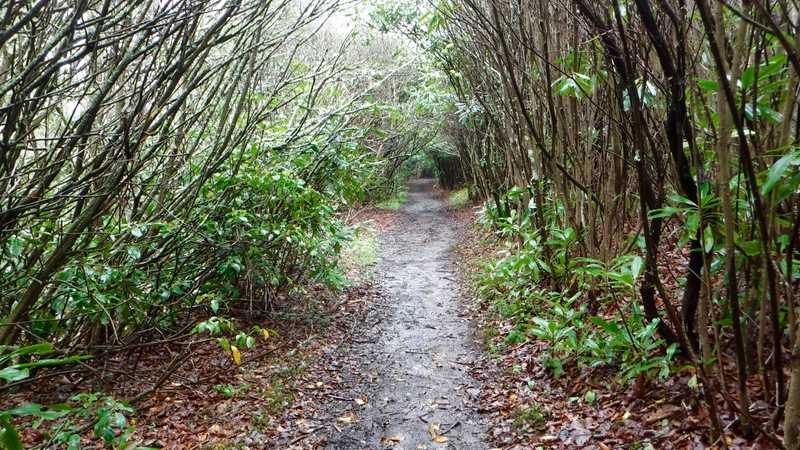 Tunnel of rhododendron