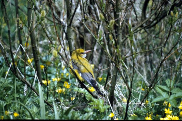 A Golden Oriole rests among the trees