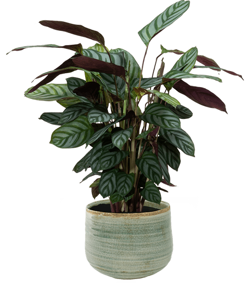 Never Never Plant (Ctenanthe oppenheimiana ) - from £31