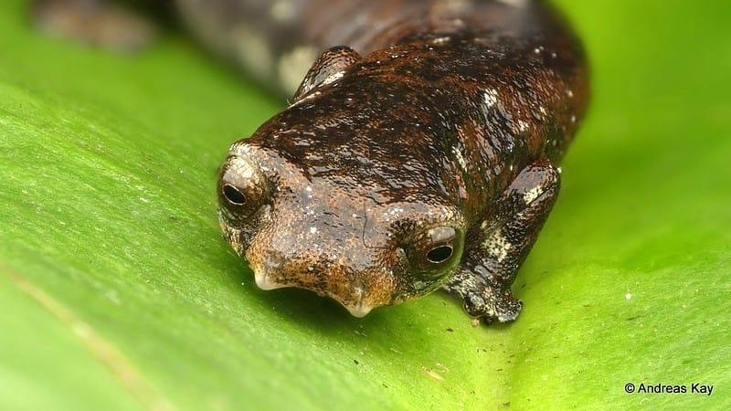 Salamandra endêmica do Brasil - Bolitoglossa Altamazonica. Imagem de Andreas Kay via Flickr.