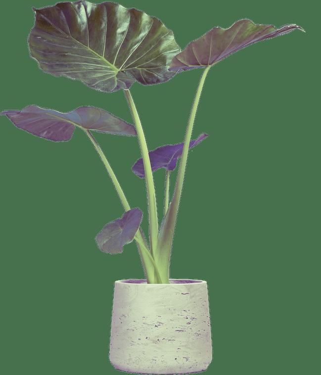 Photo of Alocasia macrorrhizos aka Giant Elephant Ear in a modern concrete indoor plant pot