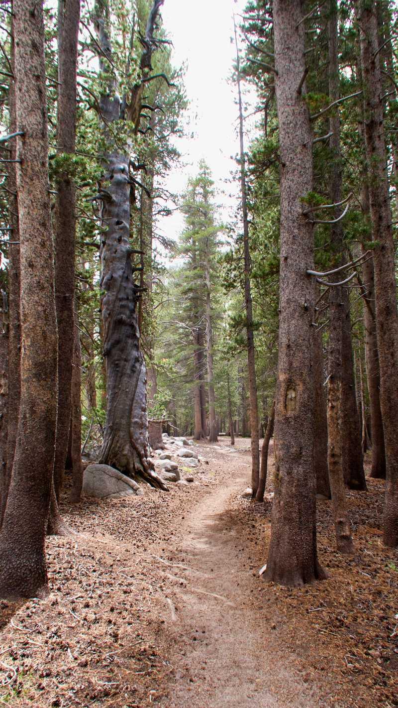The trail runs through tall lodgepole pines
