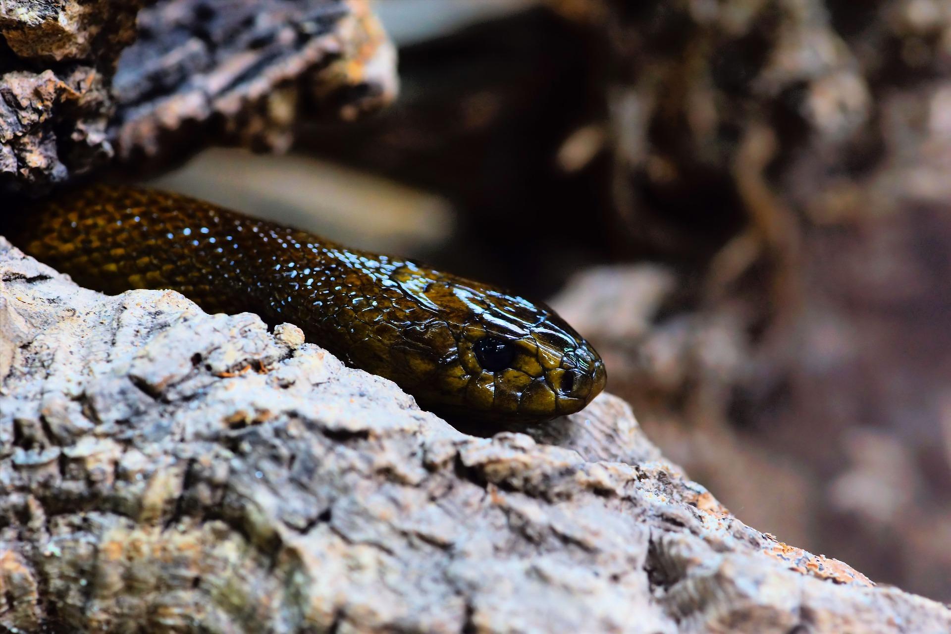 Taipán del interior, serpiente más venenosa del mundo terrestre