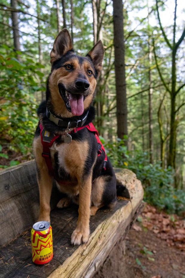 A german shepard wearing a trail harness sits on a bench carved out of log. In front of the dogg is a can of Pyramid Blazing Bright. In the background is a green forest.