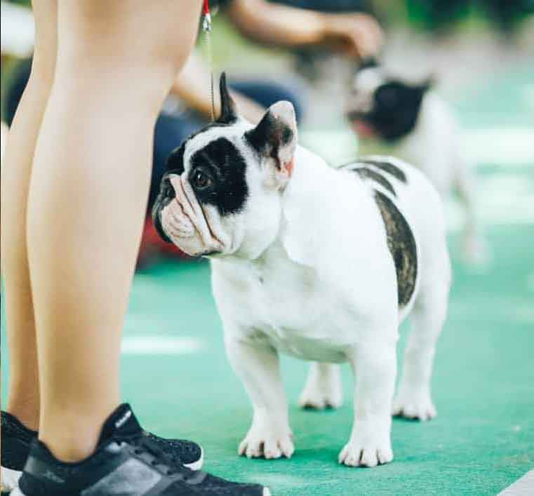 Image of a pied french bulldog standing