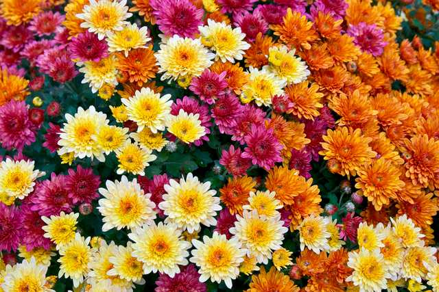 Chrysanthemum Power - Beautiful flowers and powerful pollutant remover. A must have for an healthy home.
