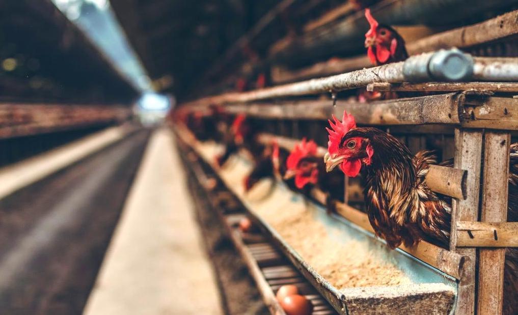 Chicken in a factory farm