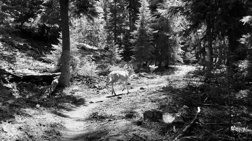 A mule deer walks along the Pacific Crest Trail