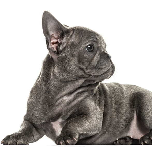 Cute Blue Frenchie Puppy