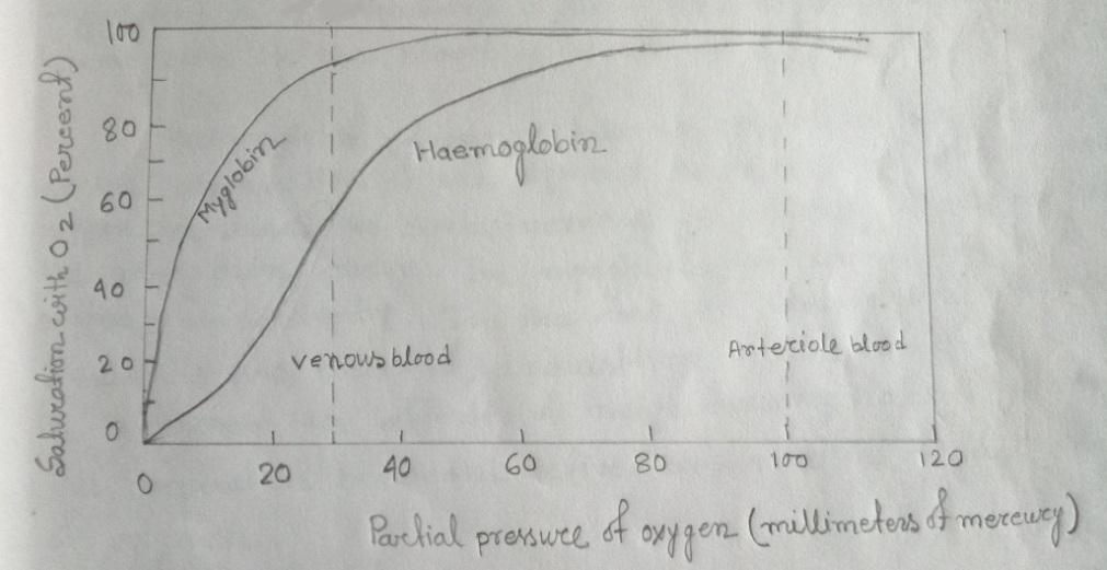A comparison of the dissociation curves for hemoglobin & for myoglobin