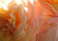 Detailaufnahem einer Rose