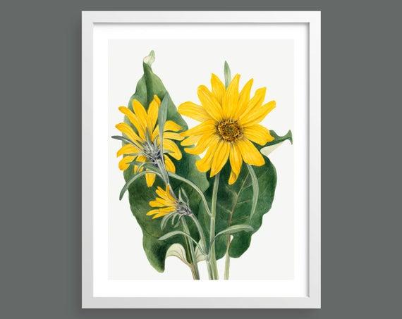 Balsamroot Flower (Balsamorhiza Sagittata) by Mary Vaux Walcott