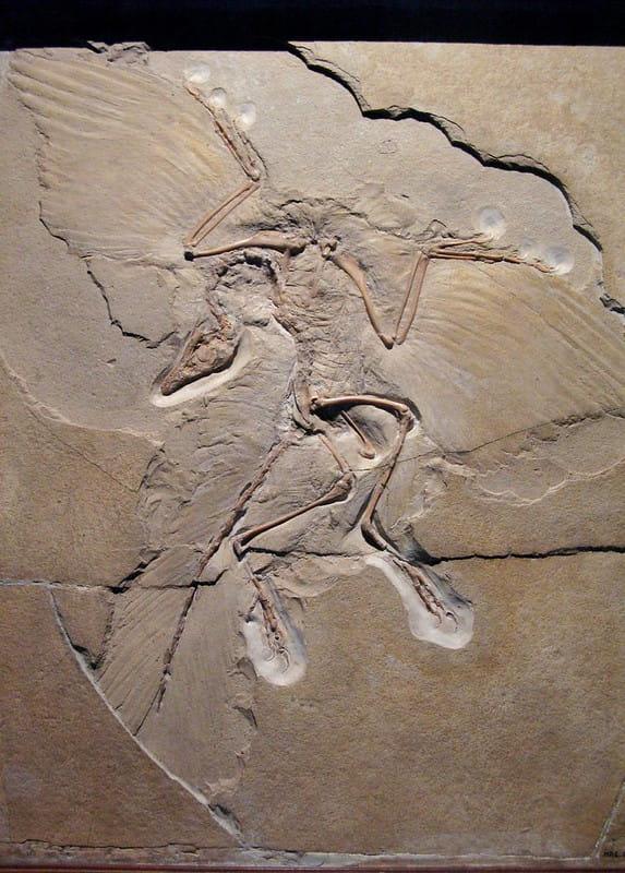 A imagem mostra uma representação de como estava posicionado o fóssil do arqueoptérix quando foi descoberto. É possível perceber a forma e tamanho das penas de em todo o seu corpo