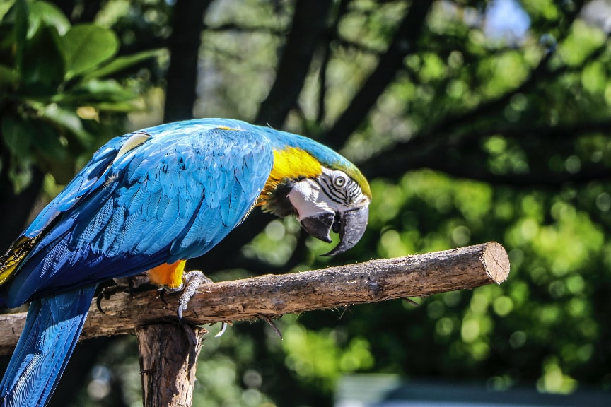 Blue Macaw sitting on the branch