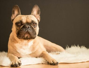 Why Do French Bulldogs Fart so Much?
