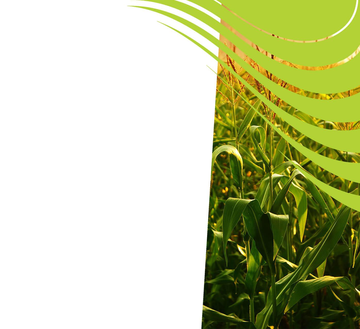 fertiliser for maize