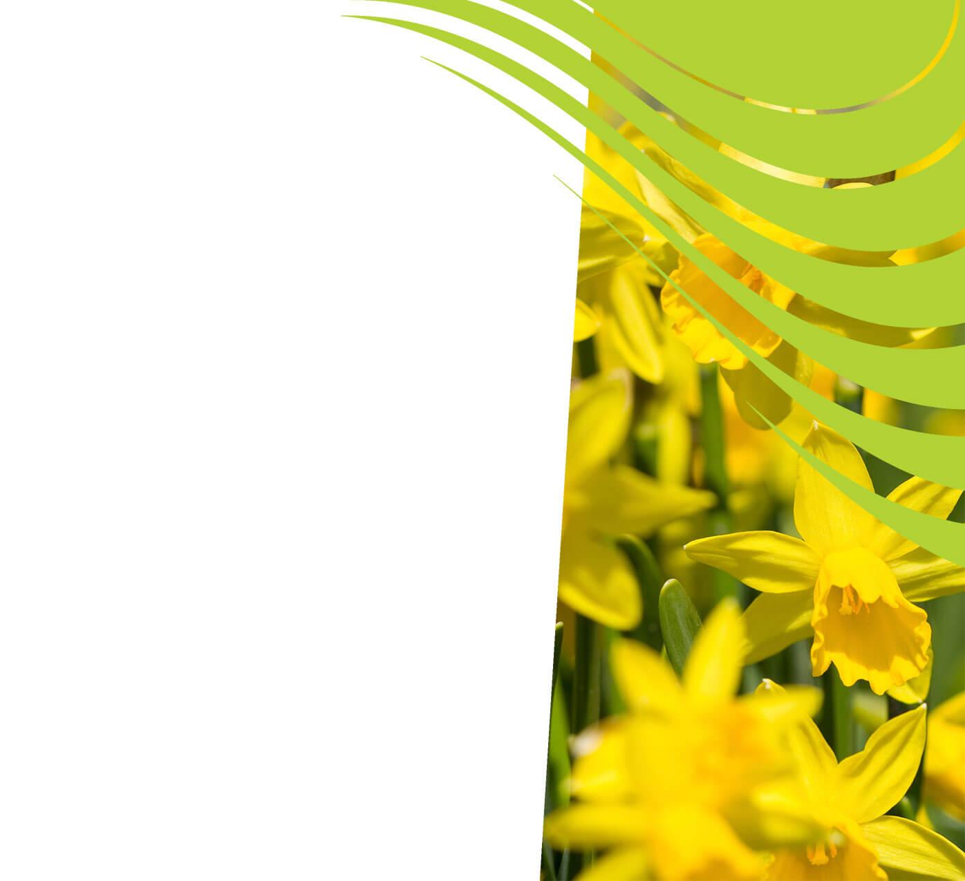 fertiliser for daffodils