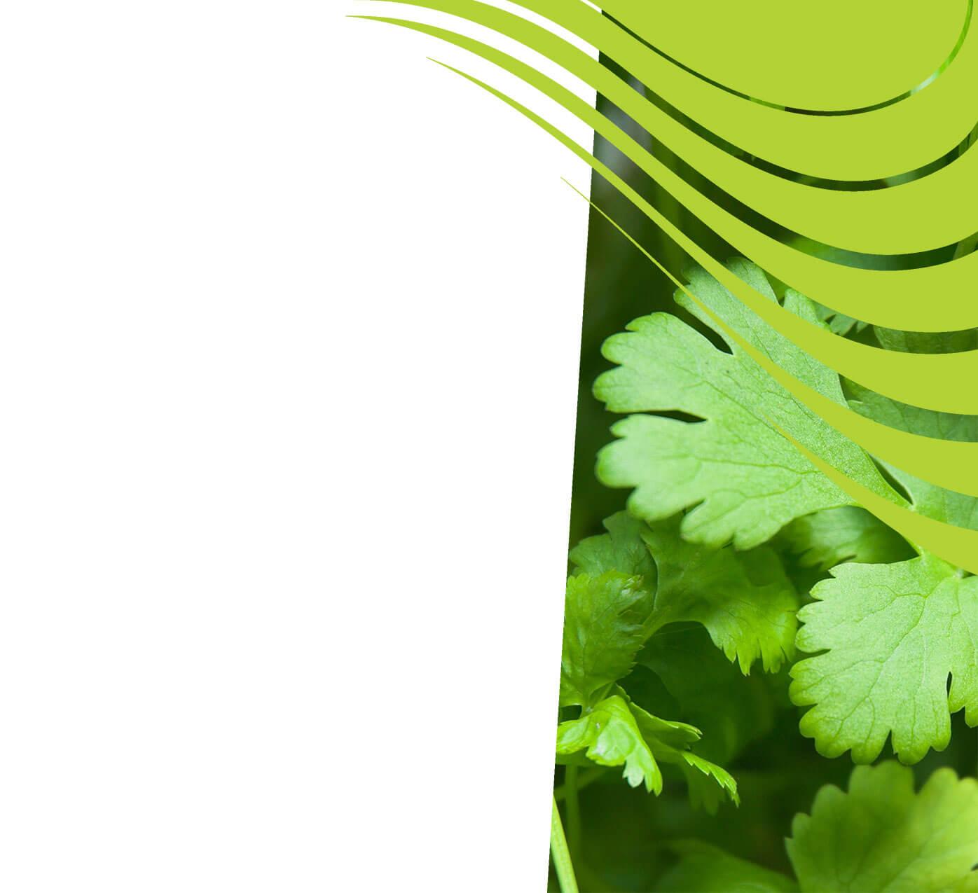 fertiliser for coriander