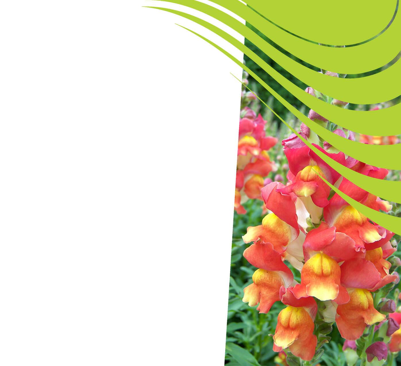 fertiliser for snapdragons