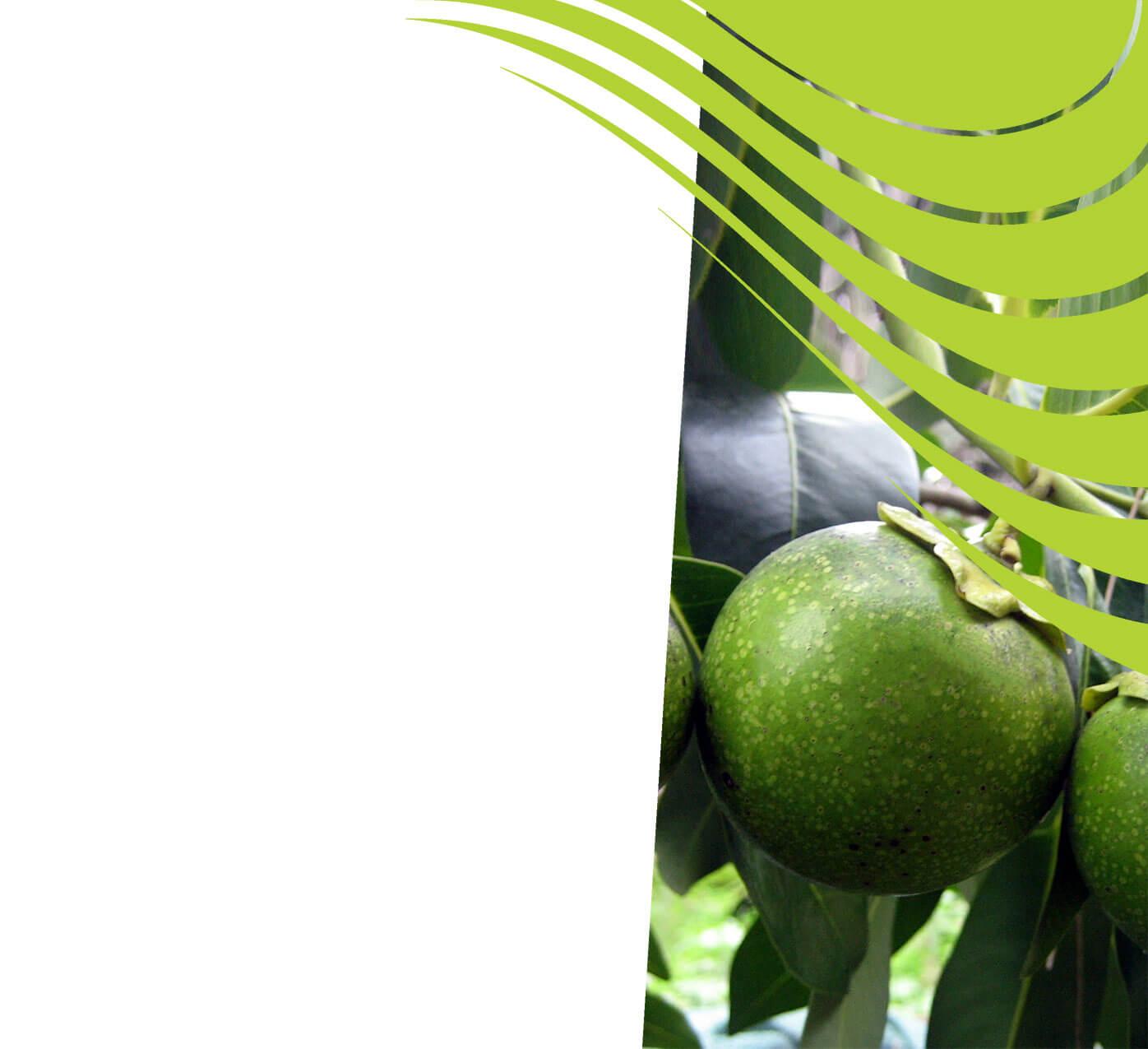 fertiliser for black sapote