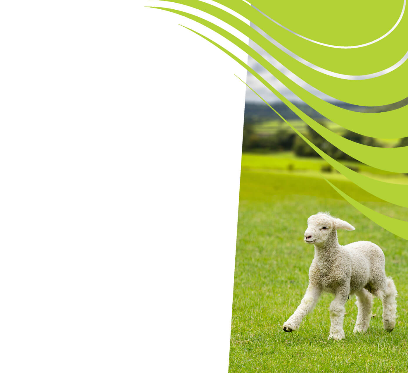 fertiliser for fat lamb pasture