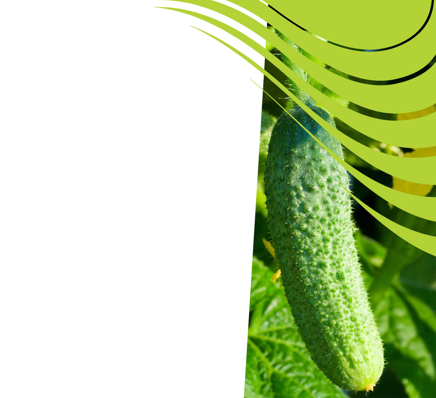 fertiliser for cucumbers